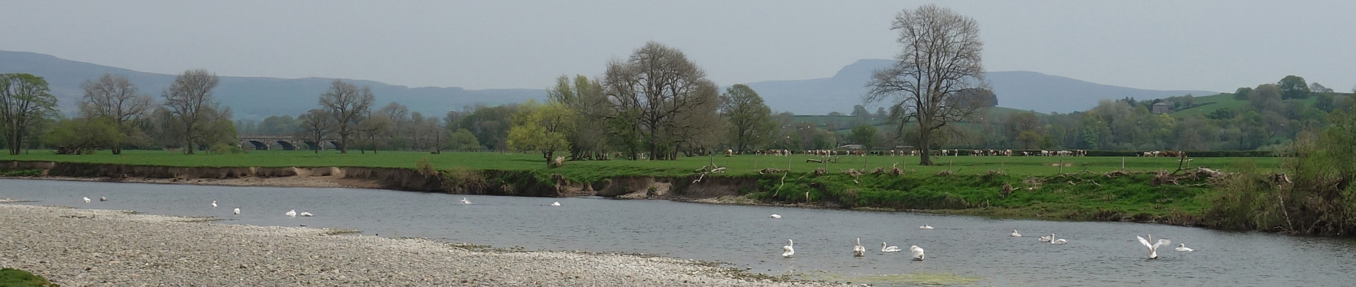 swans on Lune