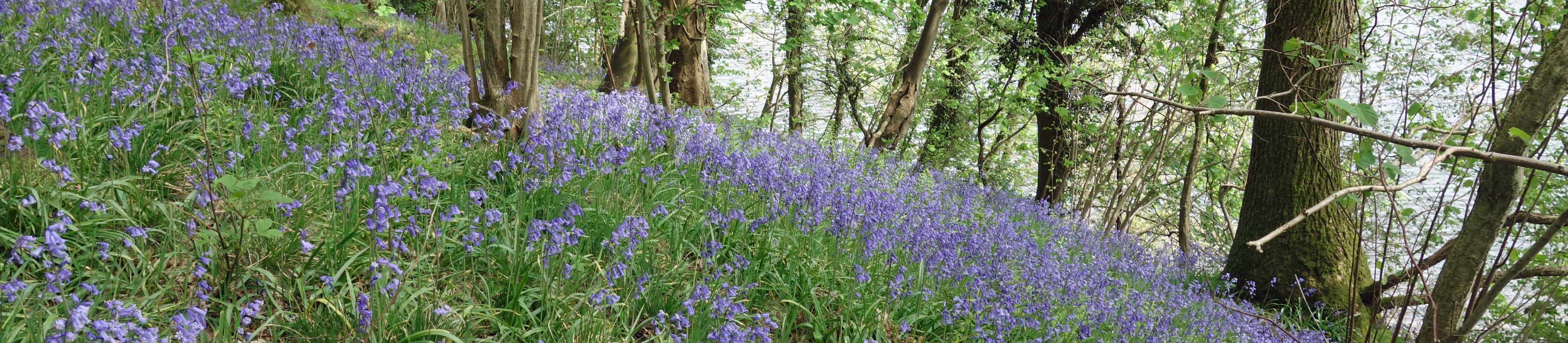 Lawson's Wood bluebells